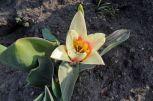 Tulpe weiß-orange-gelb