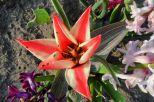 Tulpe rot-weiß