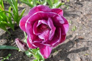 Und noch Tulpe in Lila