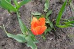 Tulpe mit dunklere orangener Farbe