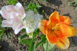 Tulpenblüten KW14_17 5