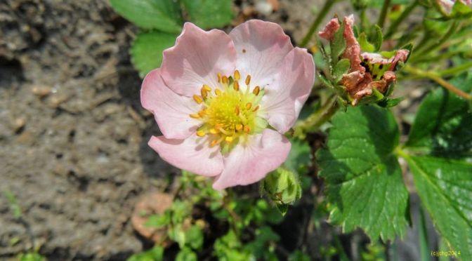 Rosa Erdbeerblüt