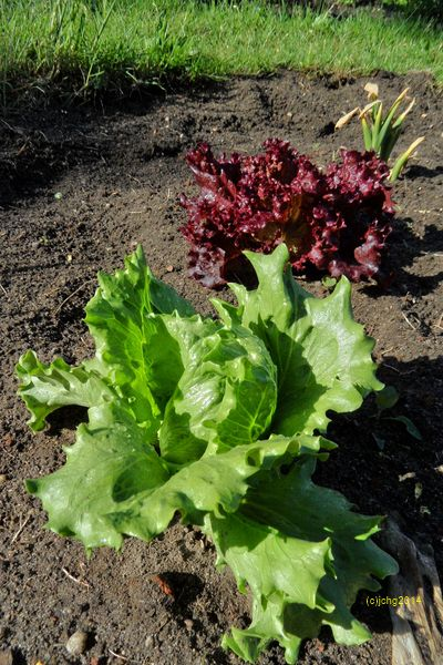 Salate - Eisbergsalat (oder Eissalat) und Lollo Rosso