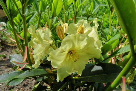 Azalee in Gelb