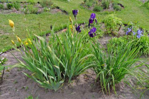 Iris und Schwertlilien