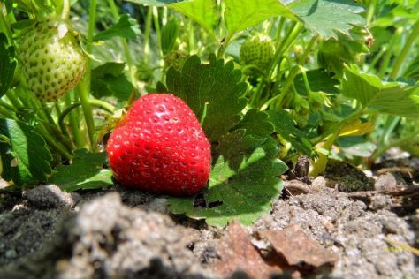Die erste Erdbeere 2014