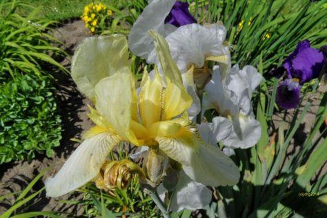 Schwertlilienblüte Gelb
