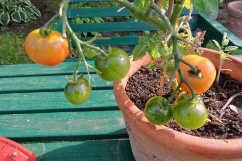 Erste Tomaten erröten