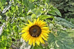 Sonnenblume mit 3 Hummeln