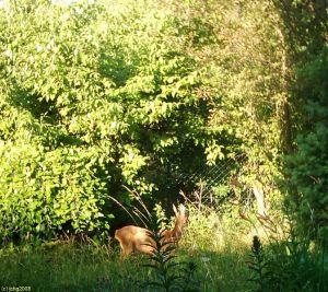 Reh im Garten am 27.06.2008