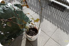 Die neuen Brombeeren vor dem Einpflanzen auf der Terrasse