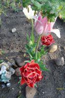 Tulpenblüten