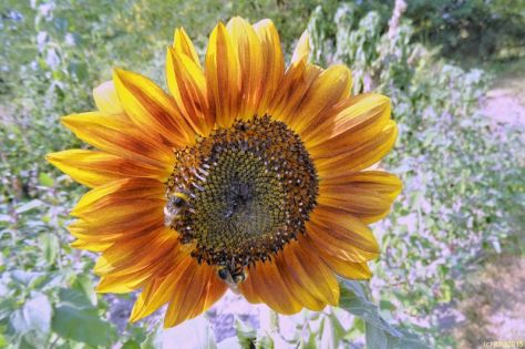 Sonnenblume rot-gelb 13.08.15