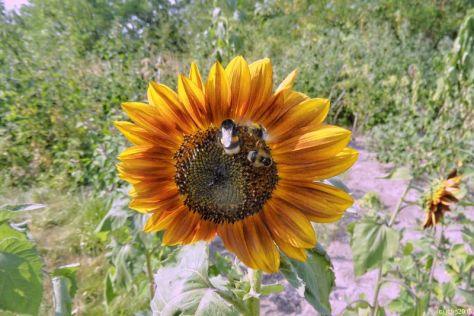 Gelbrote Sonnenblume mit zwei Hummeln