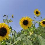 Viele Riesensonnenblumen 13.08.15