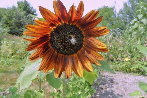 Hummel in der rotgelben Sonnenblume 16.08.15