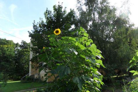 """Sonnenblumen auf dem Beet """"Amor"""" am 29.07.2017"""