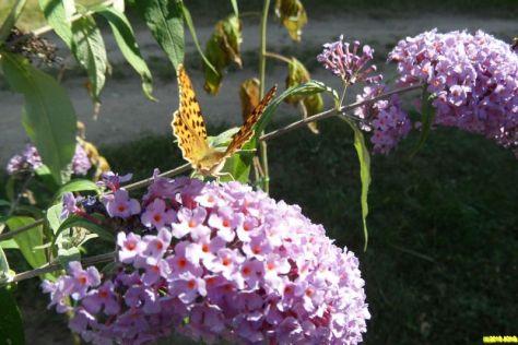 Schmetterling Kaisermantel
