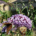 """Zweimal der Schmetterling """"Kaisermantel"""""""