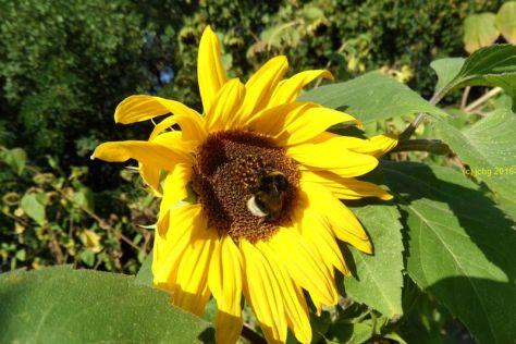 Sonnenblume und Hummel 2 am 16.09.2015