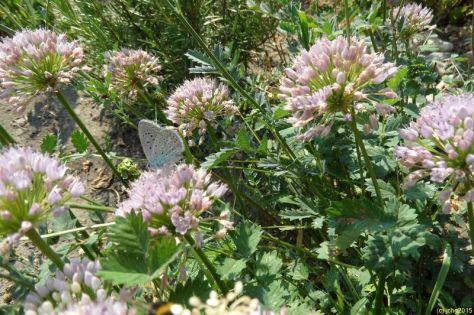 Heuhechel Bläuling und Berglauchblüte 2