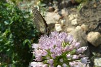 Heuhechel Bläuling und Berglauchblüte 3
