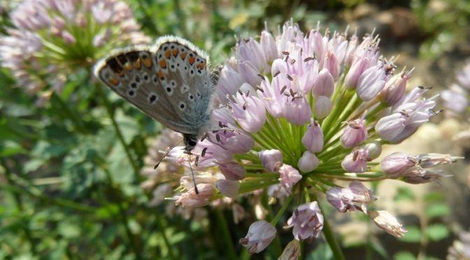 Heuhechel Bläuling und Berglauchblüte 6