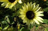 Hellgelbe Sonnenblume