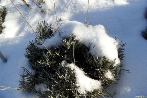 Lavendel mit Schneehaube