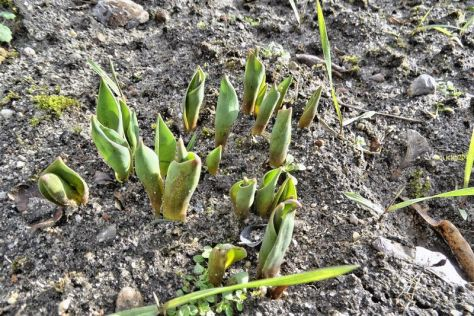 Frühjahrsblüher (hier Tulpen) tauchen auf