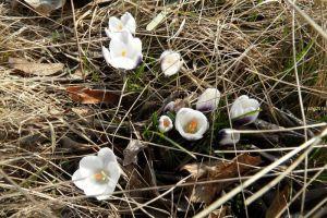 Krokusse lila-weiß im Gras am 28.02.2016 sind die Blüten aufgegangen