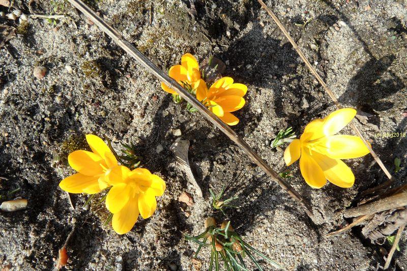 Krokusse mit gelben Blüten
