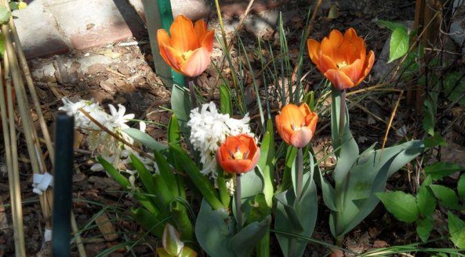Tulpen und Hyazinthen