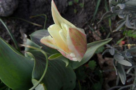 Tulpenblüte am 08.04.2016