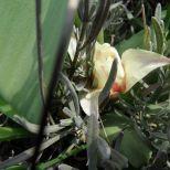 Tulpenblüten versteckt im Lavendel