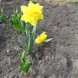 Gefüllte Osterglocke und Tulpen
