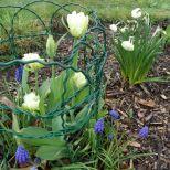 Tulpen, Scilla und gefüllte Narzissen