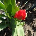 Rote Tulpenblüte