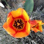 Mehr Tulpenblüten