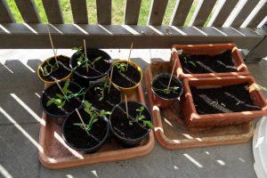 Selbst gezogene Tomaten und Chili am 05.05.2016