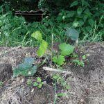 """Erste Zucchinipflanze auf dem Beet """"Kurt"""" von rechts in Richtung Norden"""