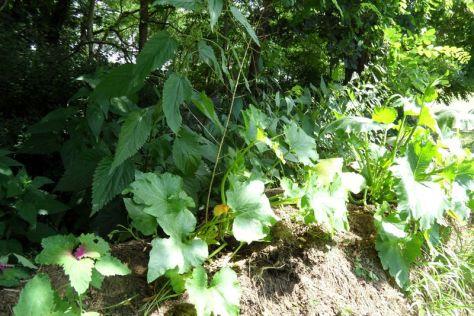 Baumspinat und Zucchini links vor dem Beetende rechts