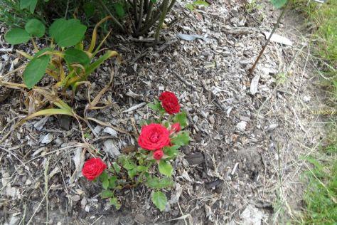 Mehrere Rosenblüten rot in voller Blüte