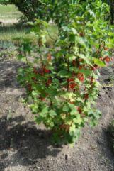 Die mal als weiße Johannisbeeren gekaufte Pflanze hat auch dieses Jahr rote Früchte am 18.06