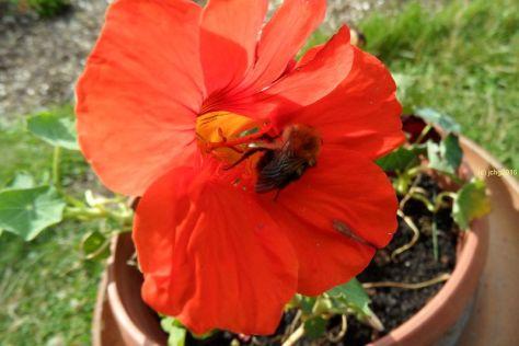 Abflug aus der Blüte der Kapuzinerkresse