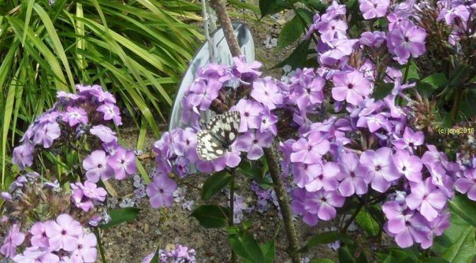 Schmetterling und Phlox