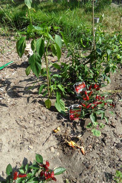 Die Chili-Pflanzen