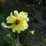 Gelbe Dahlie und Hummel 2