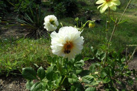 Weiße Dahlienblüte mit Hummel 30.07.2016