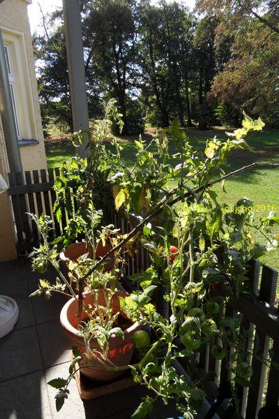 Die Tomatenpflanzen auf der Terrasse am 03.10.2016